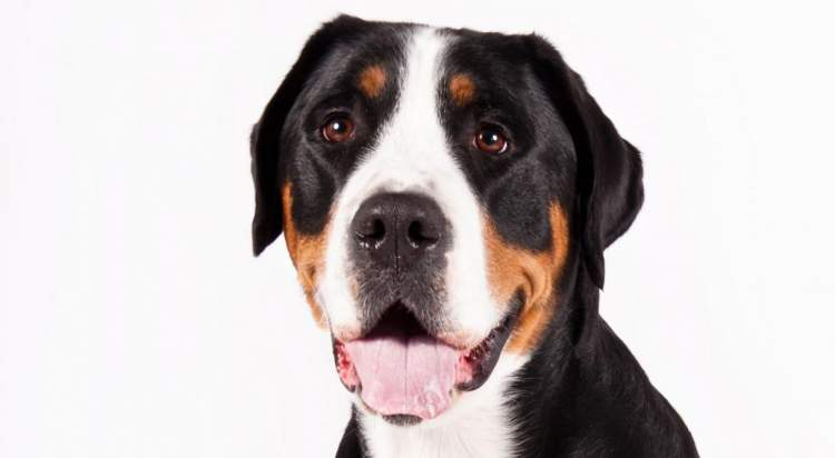 greater swiss mountain dog club of america - 1216×668