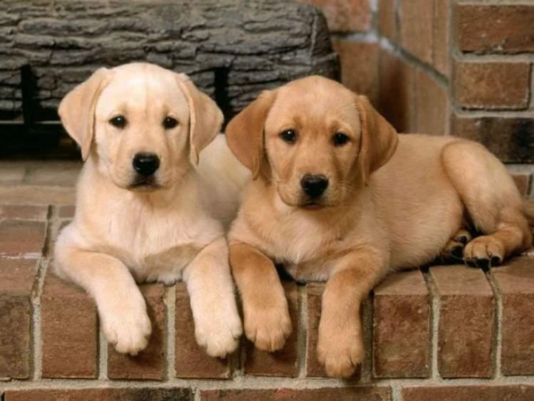 Rüyada Köpek Yavrularını Görmek