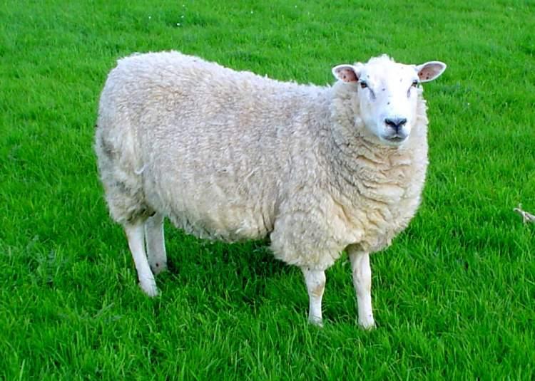 koyun öldürmek