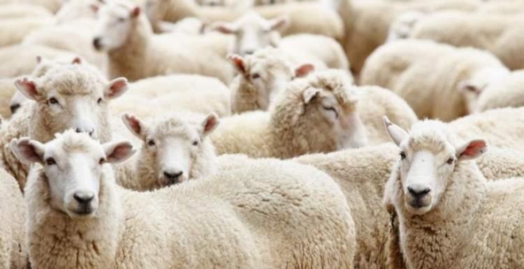 koyun satın almak