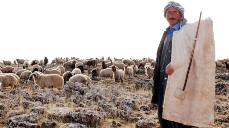 Rüyada Koyun Sürüsü Gütmek