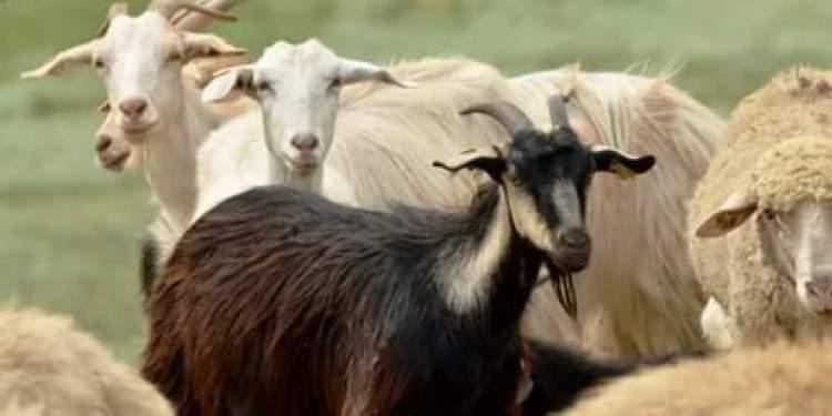 koyun ve keçi görmek
