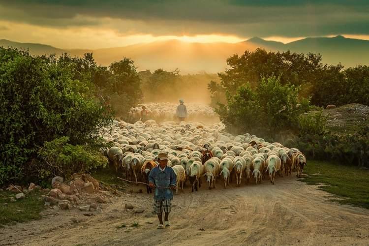koyun ve keçi sürüsü görmek