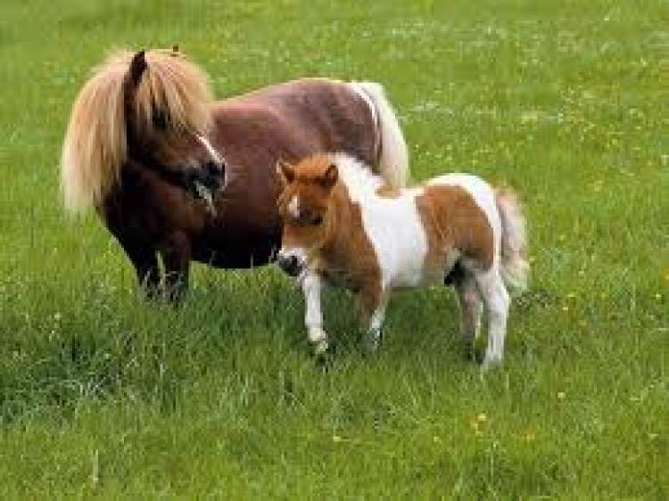 küçük at görmek