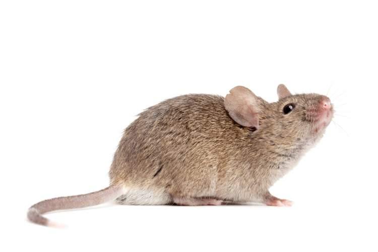 küçük fare görmek