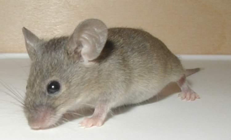 küçük fare öldürmek