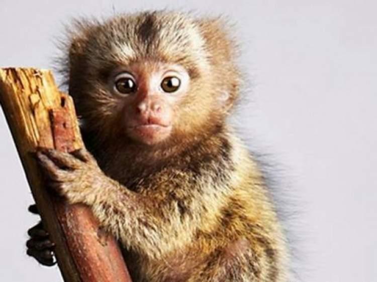 küçük maymun görmek