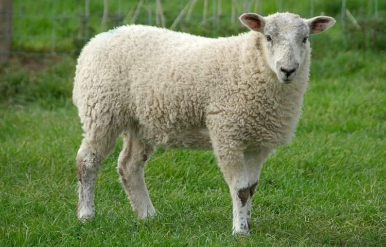 kurbanlık koyun görmek