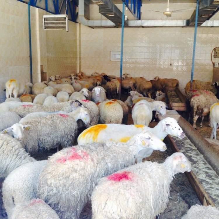 kurbanlık koyunlar görmek