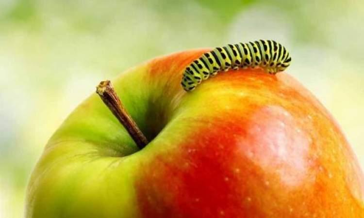 kurtlu elma görmek