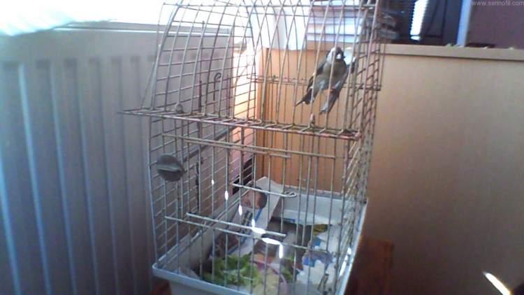 kuşu kafese koymak