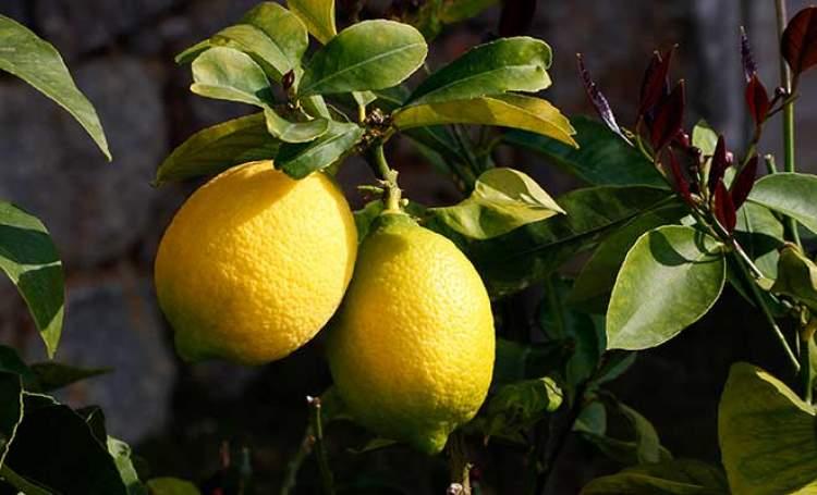 limon ağacı görmek