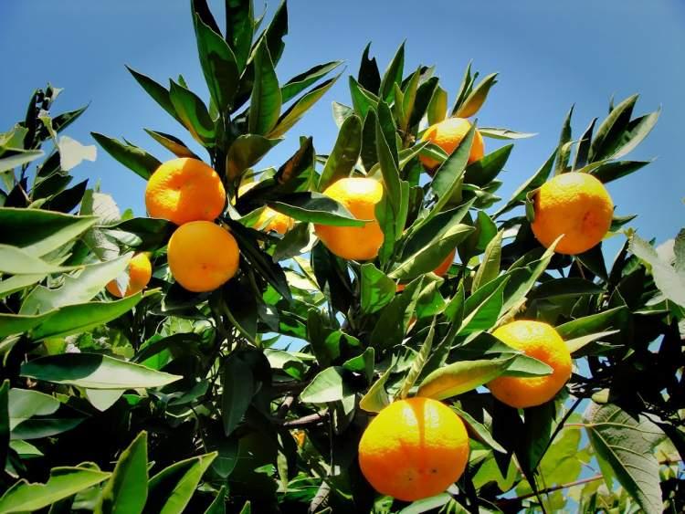 mandalina ağacı görmek