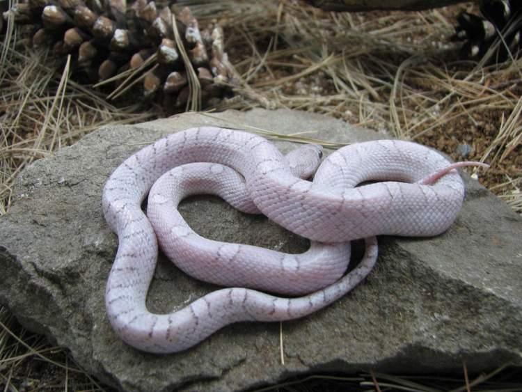 mor yılan görmek