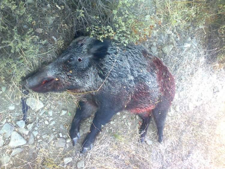 ölmüş domuz görmek