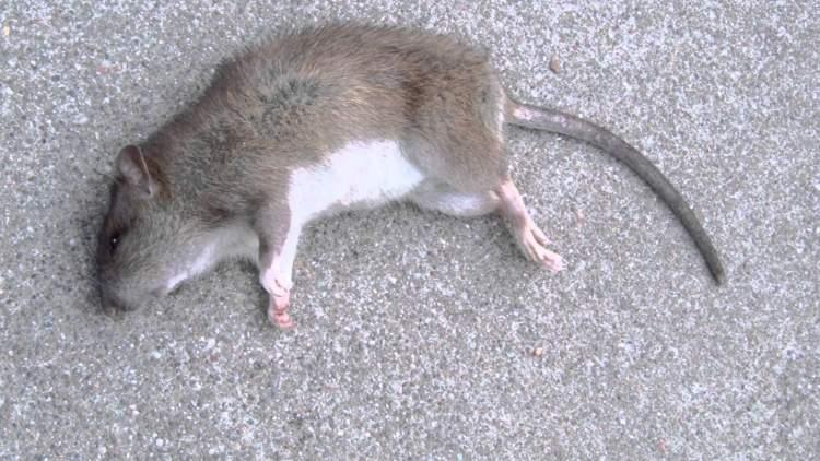 ölmüş fare yemek