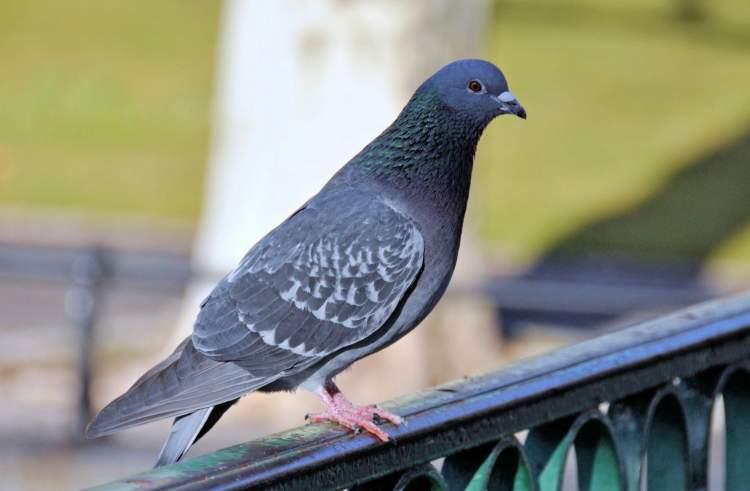 ölmüş güvercin görmek