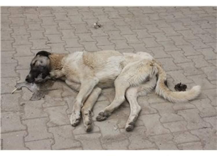 ölmüş köpek görmek