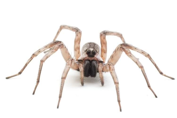 örümcek sokması