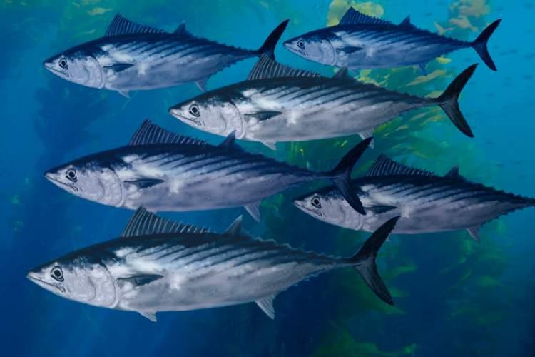 palamut balığı görmek