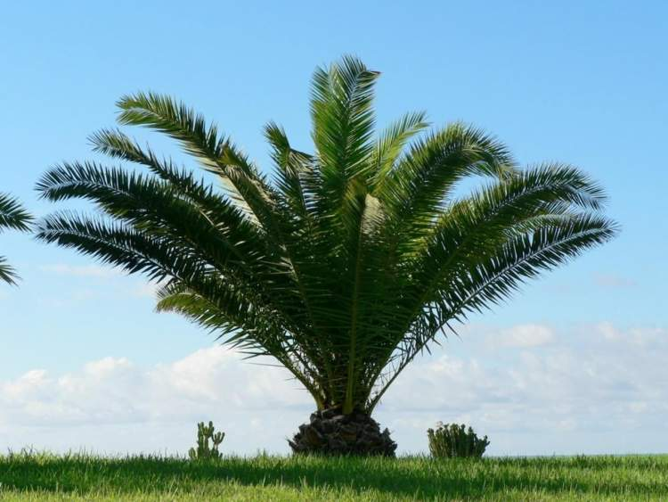 palmiye ağacı görmek