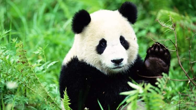 panda görmek