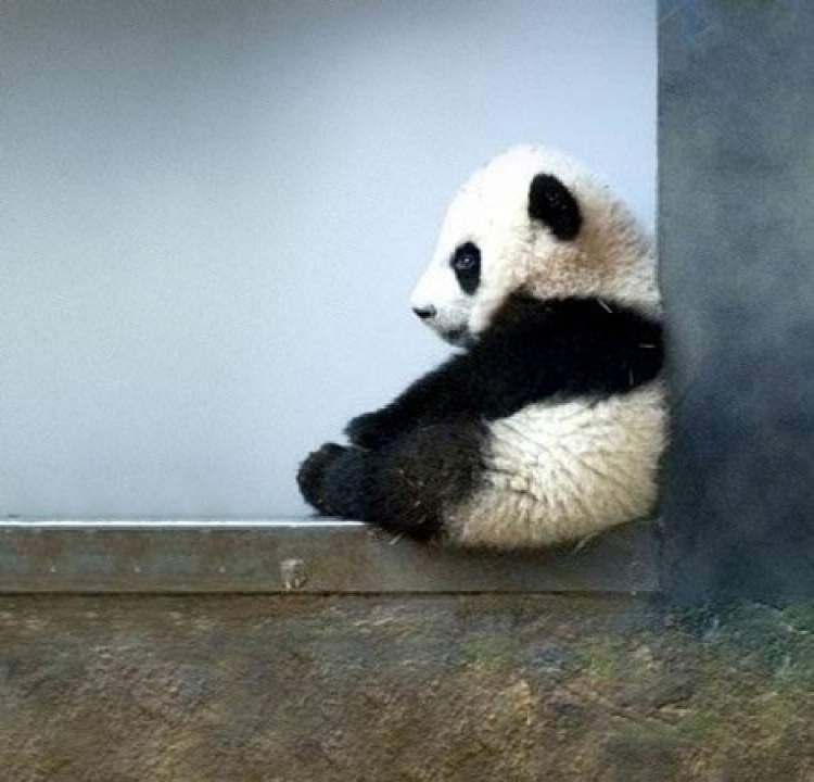 panda yavrusu görmek