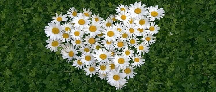 papatya çiçek görmek