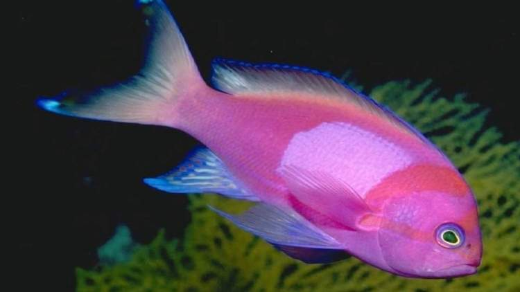 pembe balık görmek