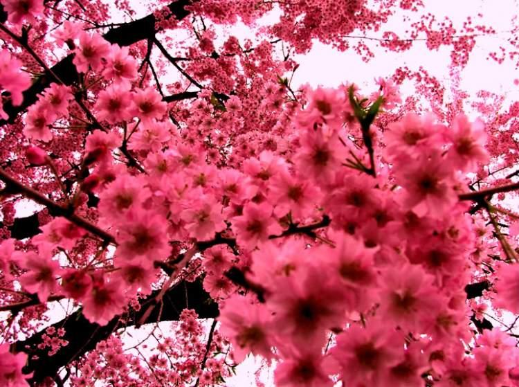 pembe çiçekli ağaç görmek