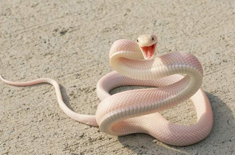 pembe yılan görmek