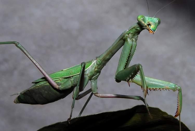 peygamber böceği görmek