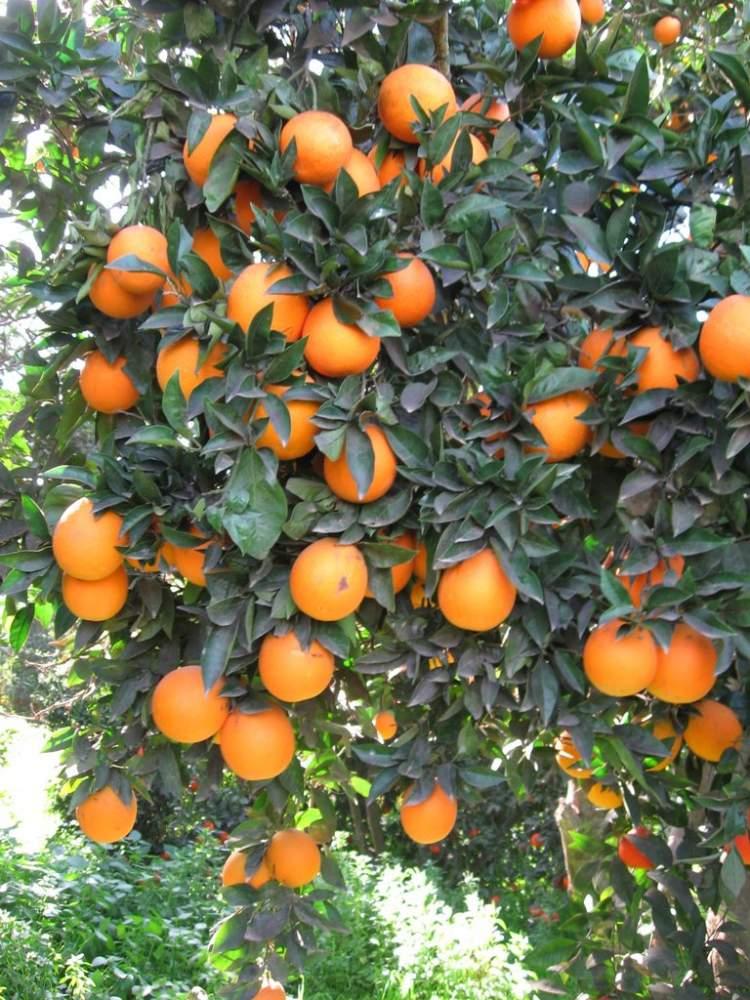 portakal ağacı görmek