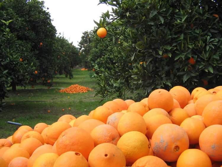 portakal bahçesi görmek