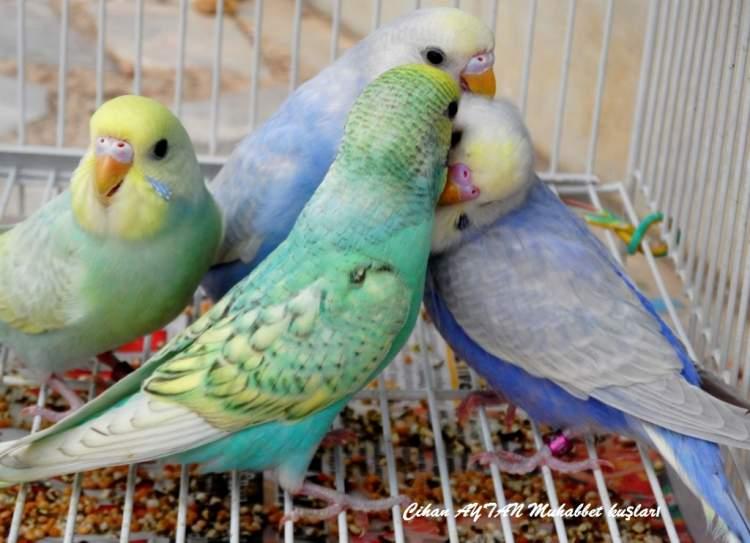 renkli muhabbet kuşu görmek