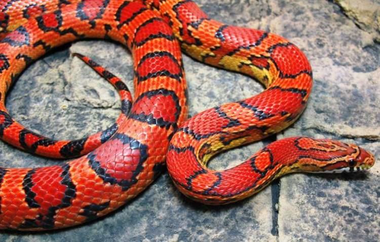 renkli yılan görmek