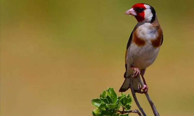Rüyada Saka Kuşu Yakalamak