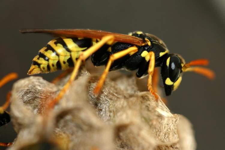 sarı arı öldürmek