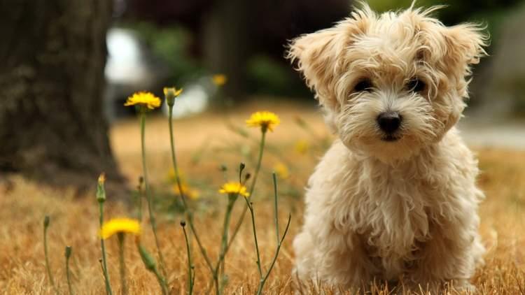 Rüyada Sarı Köpek Görmek