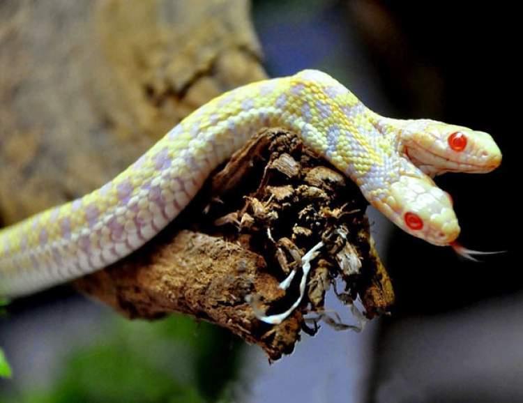 sarı yılan ısırması