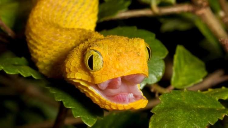 sarı yılan öldürmek