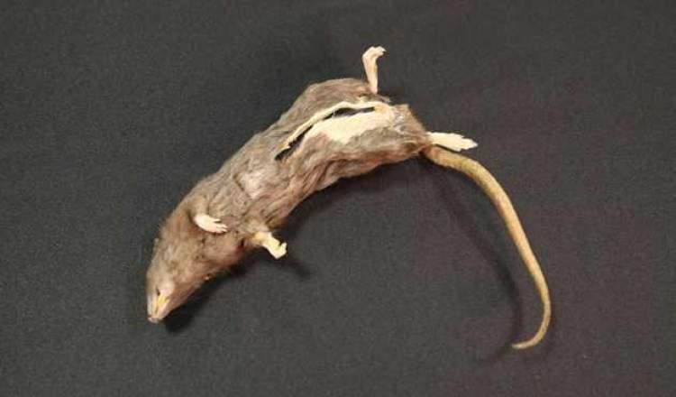 sıçan öldürmek