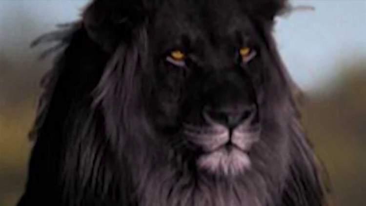 siyah aslan görmek