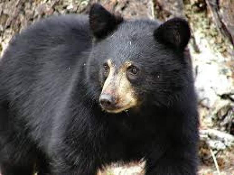 siyah ayı görmek
