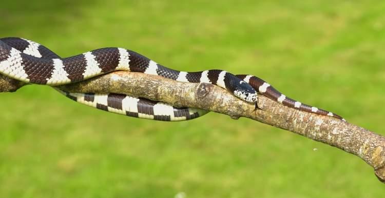 siyah beyaz yılan görmek