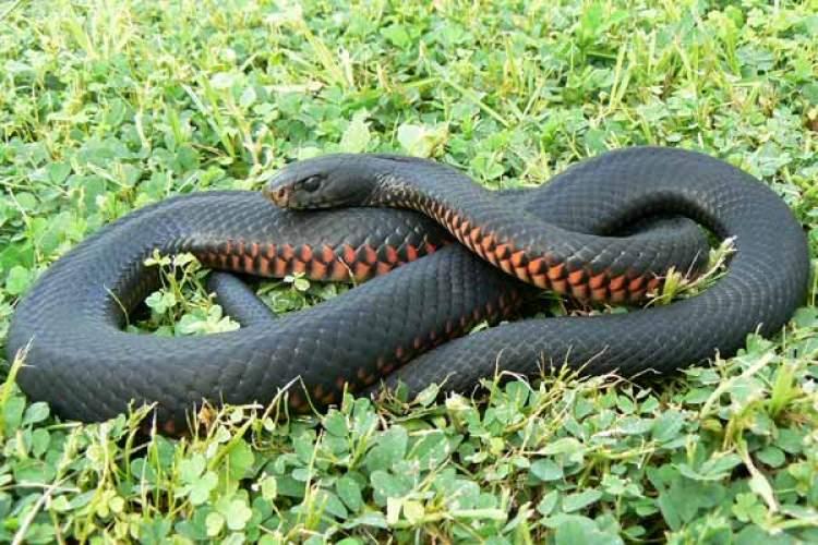 siyah büyük yılan görmek