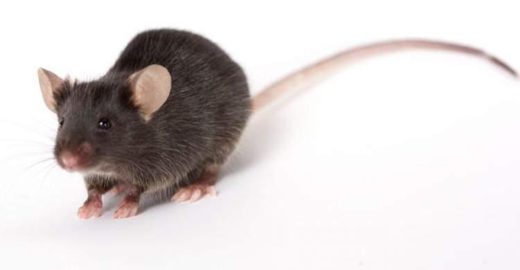 siyah fare görmek