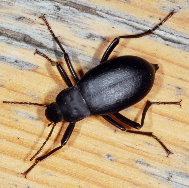Rüyada Siyah Hamam Böceği Görmek