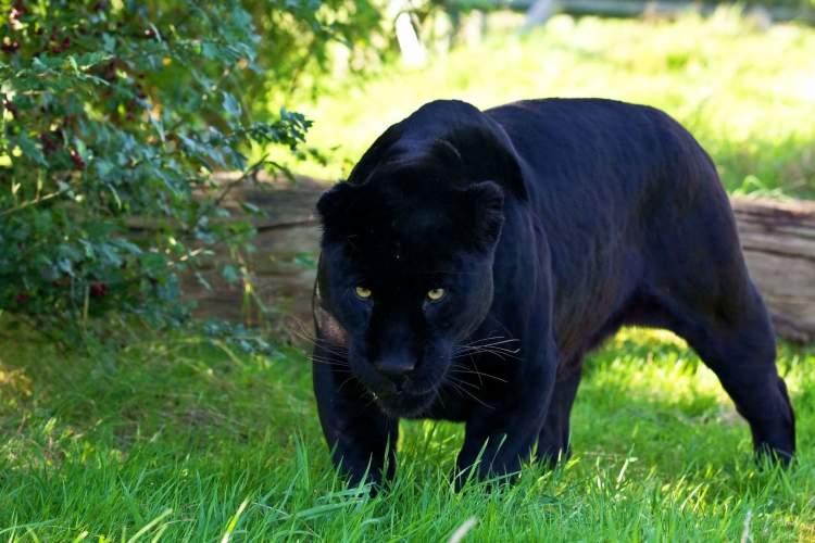 siyah jaguar görmek