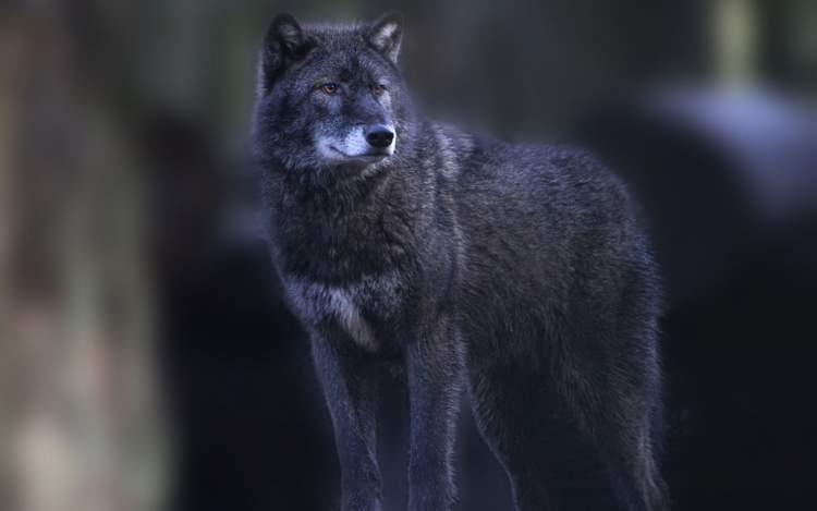 siyah kurt görmek